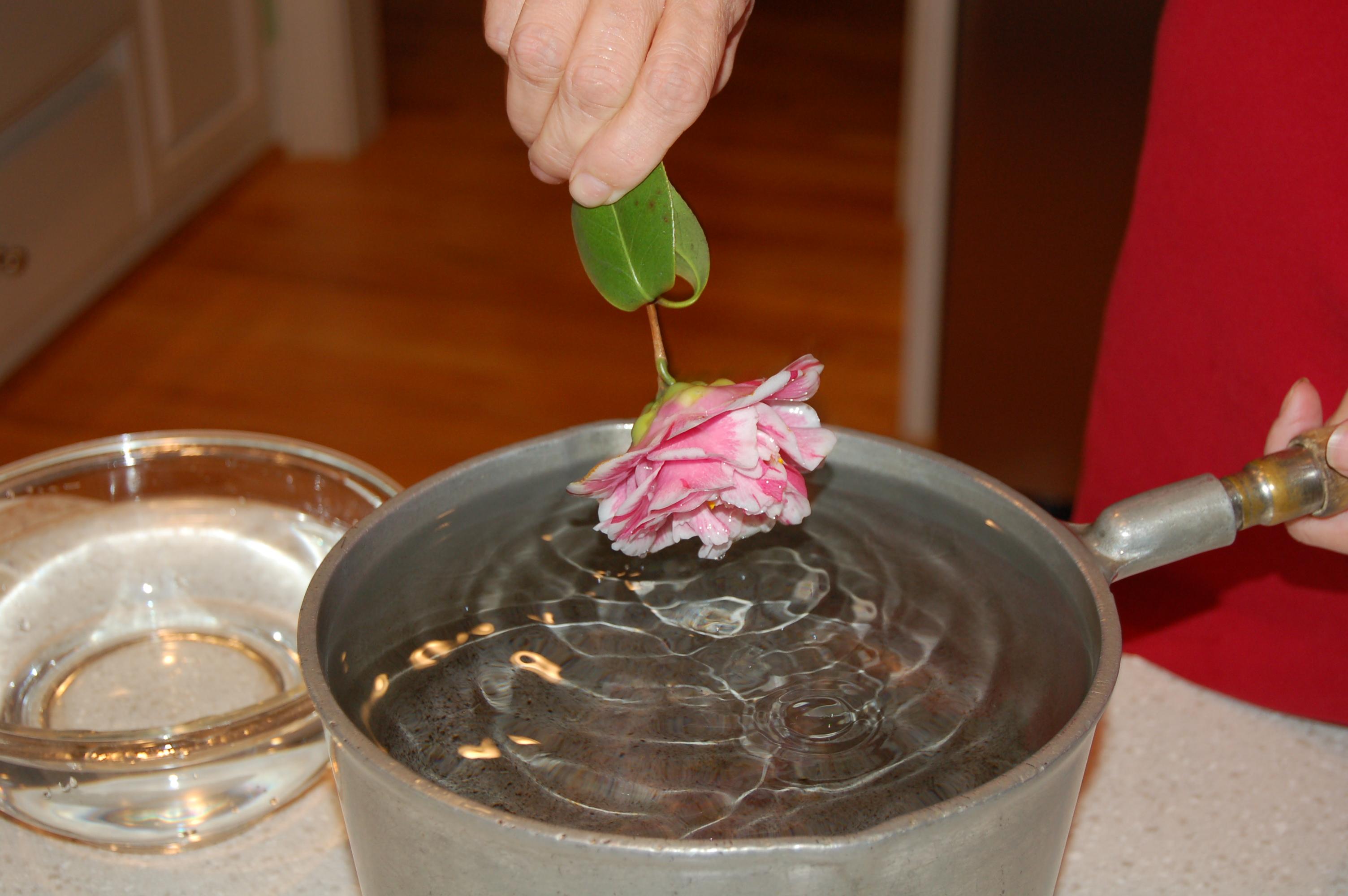Waxing Camellia Blooms Hortitopia