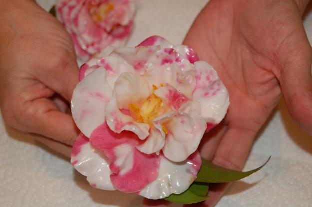 Waxed camellia