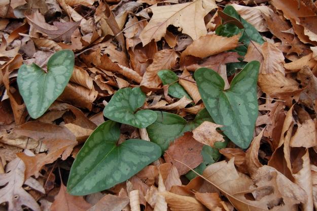 Arrowleaf ginger (Hexastylis arifolia)