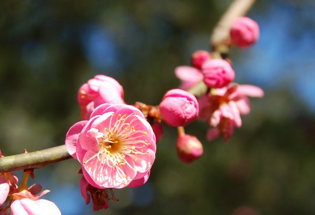 Japanese flowering apricot, such as this beautiful 'Peggy Clark', typically grow 20-feet tall and are hardy to zone 6.