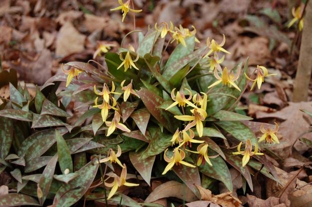 Erythronium americanum (trout lily)
