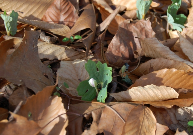 Sanguinaria canadensis (bloodroot)