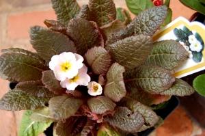 Priula vulgaris 'Drumcliff'