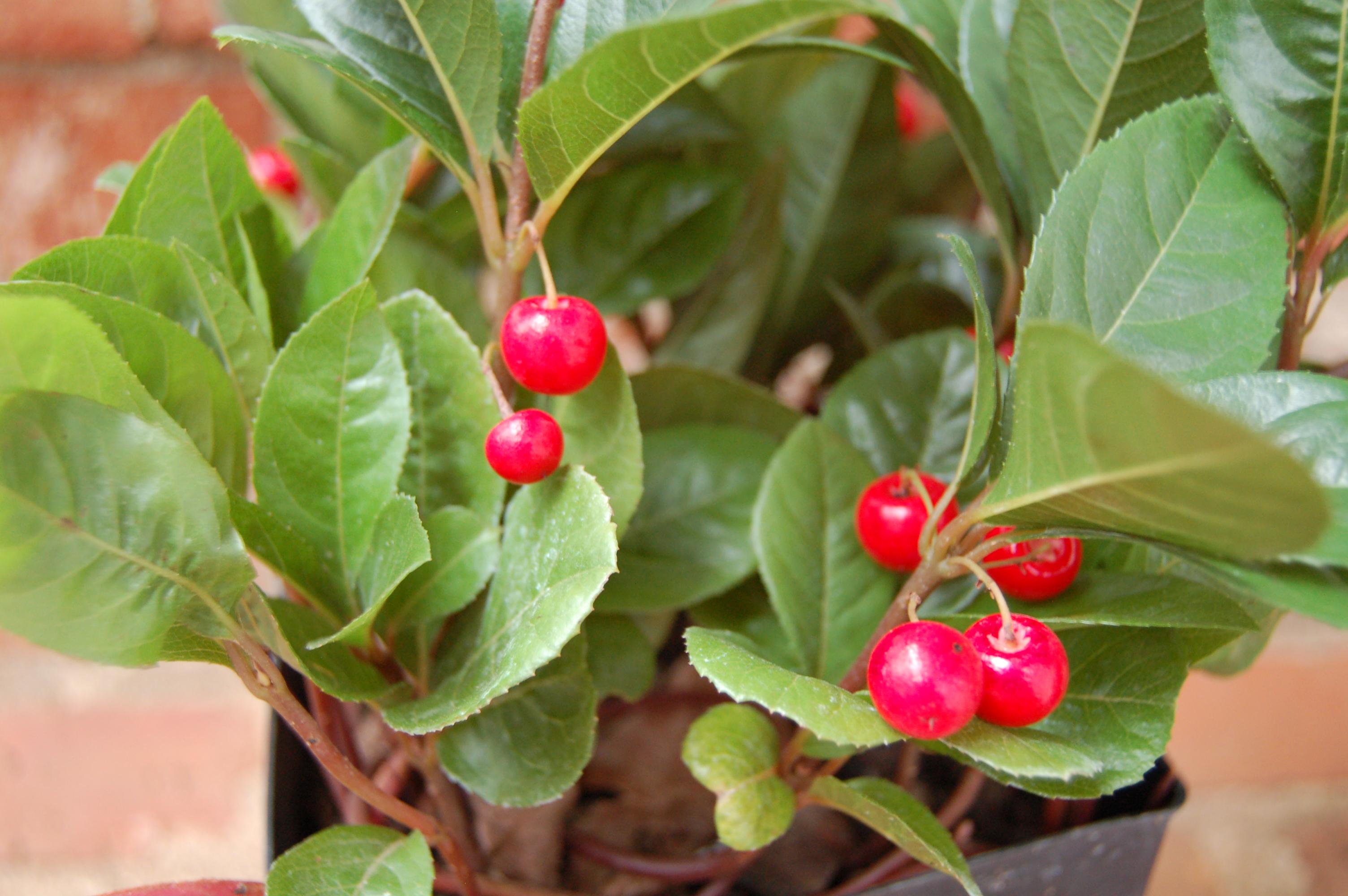 Ardisia Japonica Hortitopia