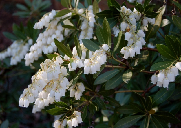 Pieris japonica 'Temple Bells'