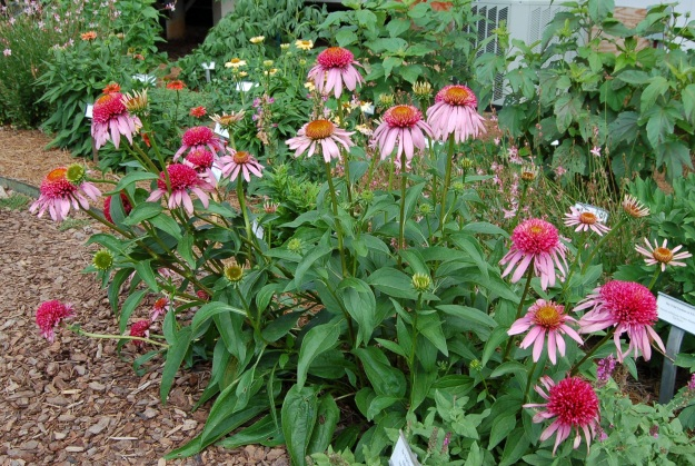 Echinacea 'Double Scoop Bubble Gum', Trail Gardens at UGA 2012