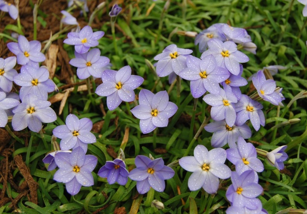Ipheion uniflorum (Blue starflower)