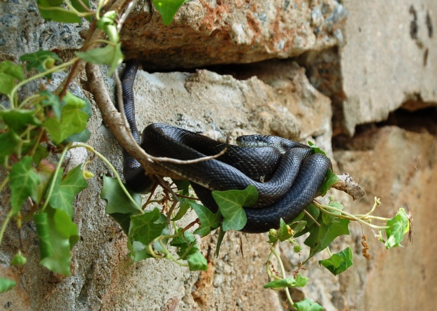 Black racer or black rat?  April 15, 2012