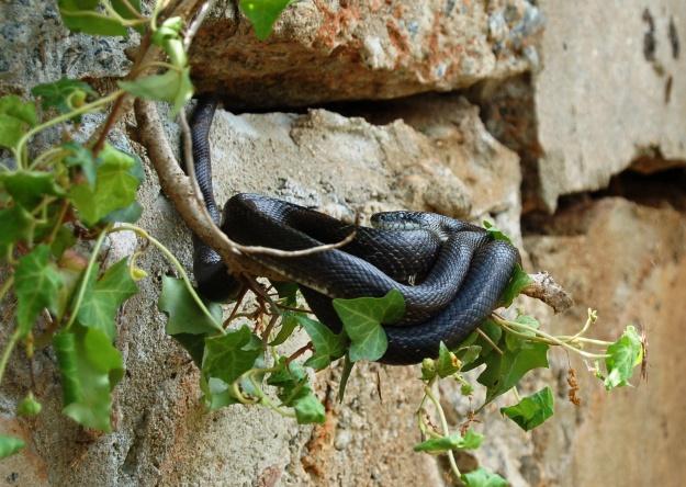 Black racer or black rat?  April 15, 2012