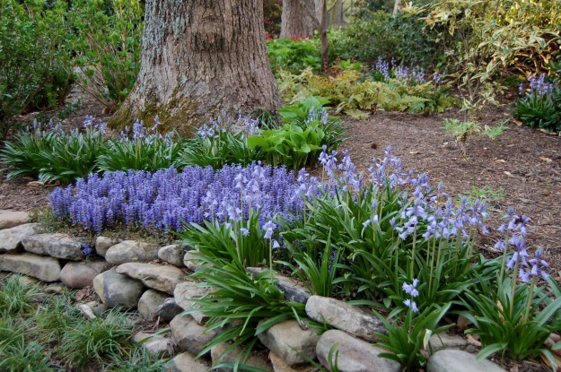 Spanish bluebells (Hyacinthoides hispanica) and Ajuga 'Chocolate Chip' (Ajuga x)