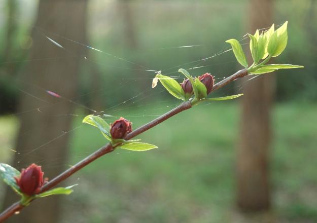 Sweetshrub (Calycanthus floridus)