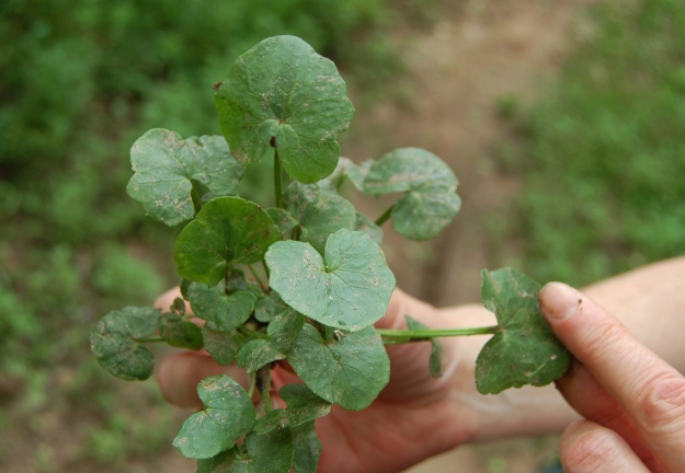 Fig buttercup foliage is leathery and deeply veined.  Leaf size increases with shade.