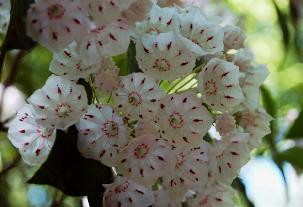 Mountain laurel (Kalmia latifolia), Station Cove Trail