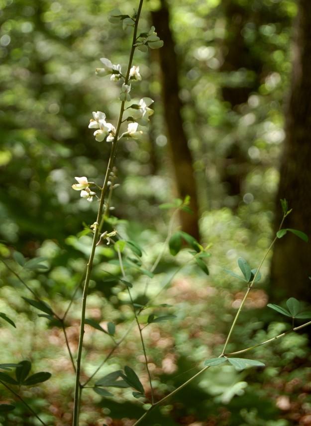 Wild baptisia (B. latifolia), Yellow Branch Falls Trail