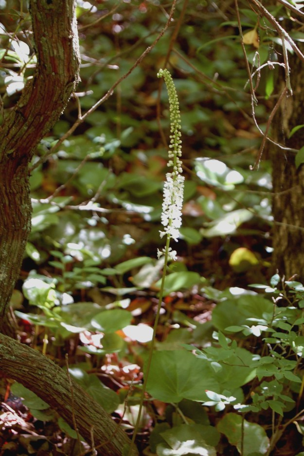 Wandflower (Galax urceolata), Yellow Branch Falls Trail