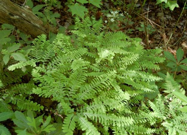Maidenhair fern (Adiantum pedatum), Yellow Branch Falls Trail