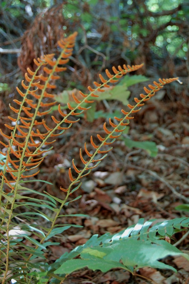 Colorful spores on Christmas fern (Polystichum acrostichoides)