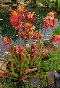 Pitcher plants include the showy Sarracenia Judith Hindle