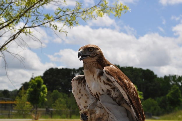 Red-Tailed Hawk (Buteo jamaicensis).  Photo by Bob Knight.