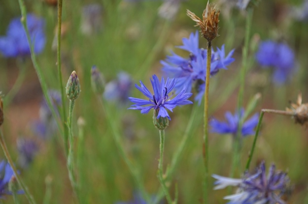 Bachelor Button (Centaurea cyannus).  Photo by Bob Knight.
