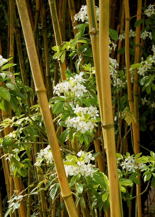Choisya and bamboo.