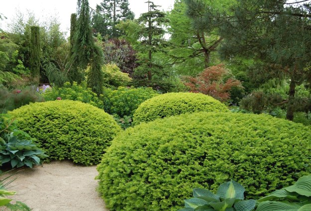 Are giant pincushions of golden yew a tongue-in-cheek play on needle-bearing plants?