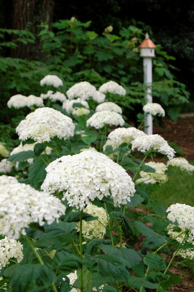 Sturdy stems keep the large flower clusters of 'Incrediball' from flopping.