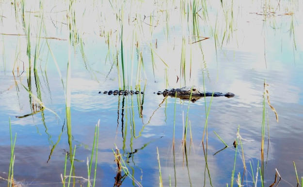 Gators lay claim to an area and defend it from others of their kind.