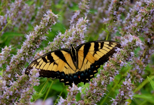 Female Eastern Tiger Swallowtail on Anise hyssop at James and Dolly Madison's Montpelier, near Orange, Virginia.