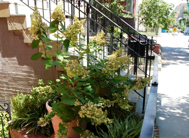 A lacy Tardiva hydrangea on N Street.