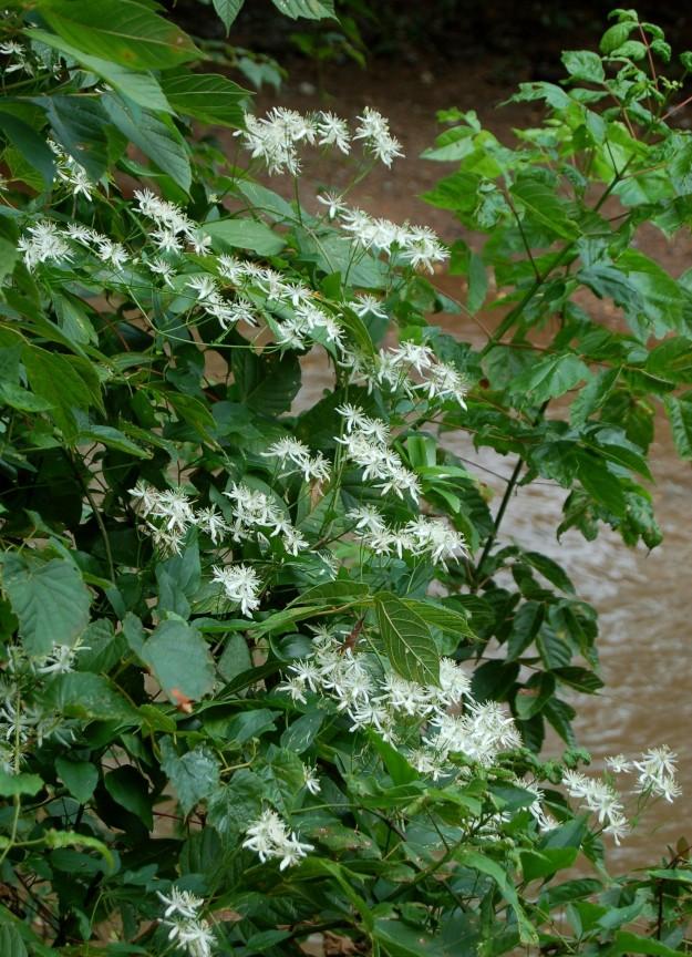 Autumn clematis (C. terniflora)