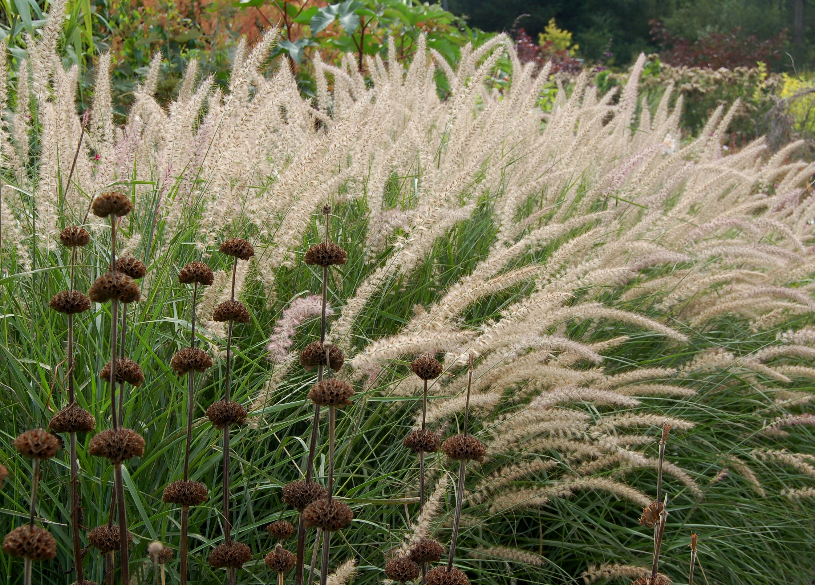 301 moved permanently for Ornamental grasses that bloom