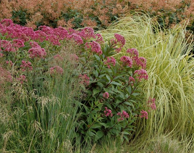 Eutrochium purpureum (our native joe-pye weed) in a border featuring ornamental grasses.