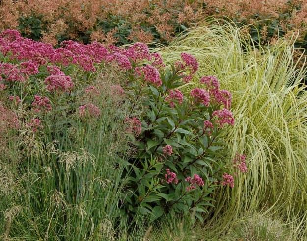 Eutrochium purpureum (our native joe-pye weed) in a border featuring ornamental grasses.