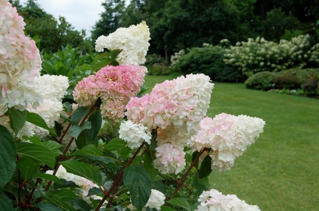 Hydrangea paniculata Vanille Fraise 'Renky' in the woodland garden.