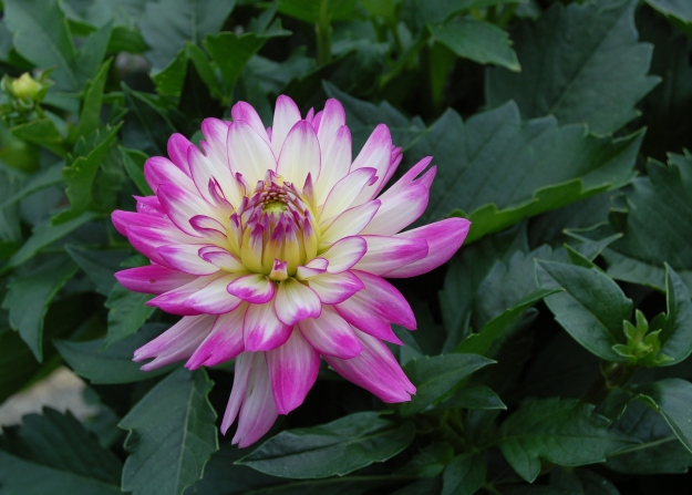 Dahlia 'Veracruz' in the trial garden.