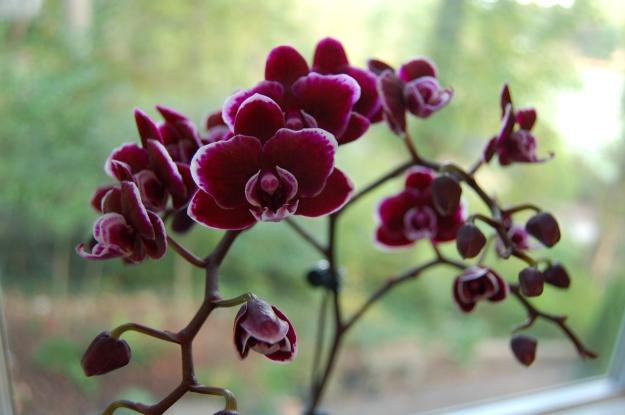 Eye-catching mini Phalaenopsis