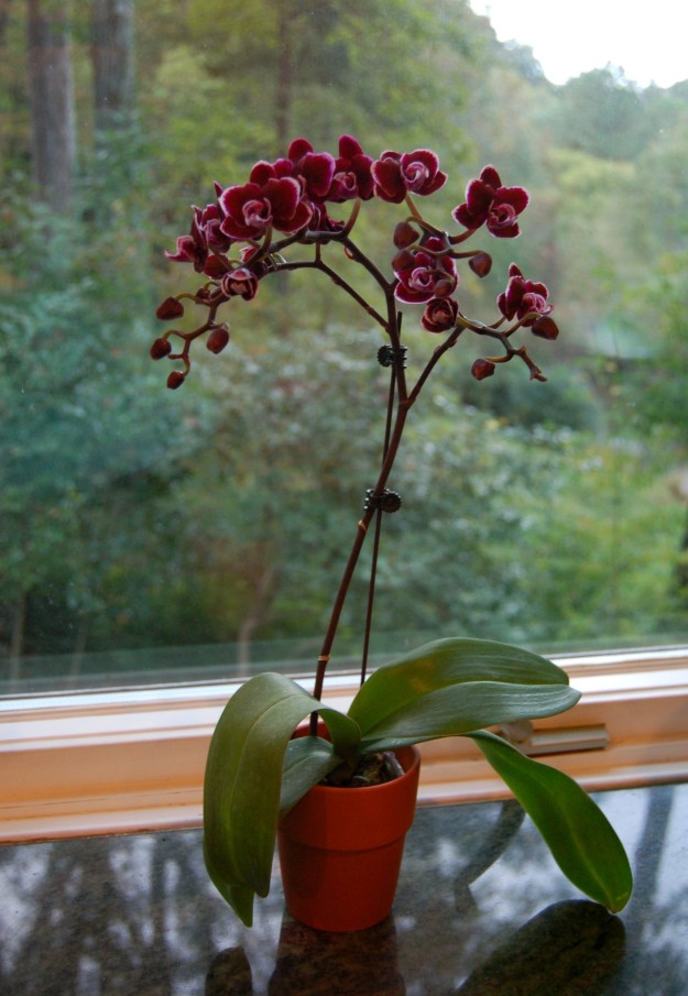 Bright, indirect light and cooler night temperatures make this window a perfect spot for the mini orchid.