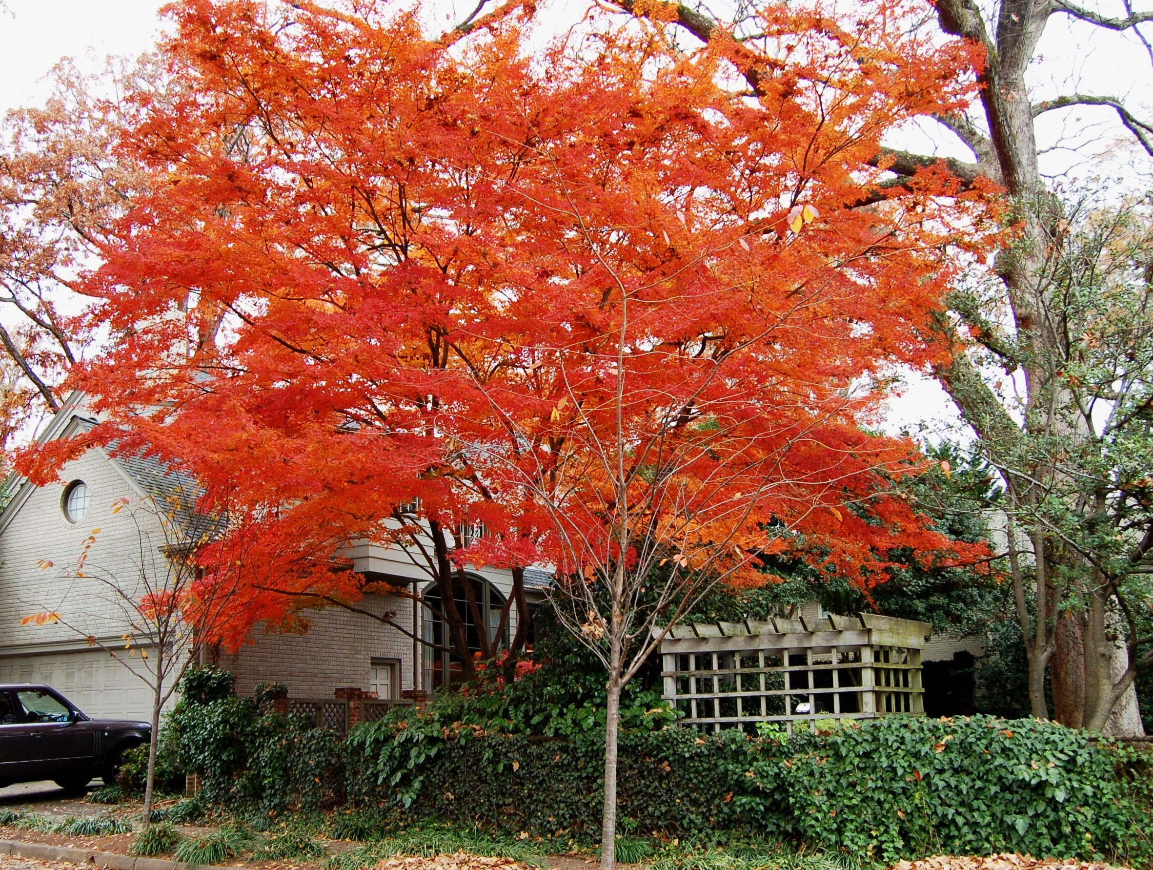 Japanese maple hortitopia for Japanese maple tree