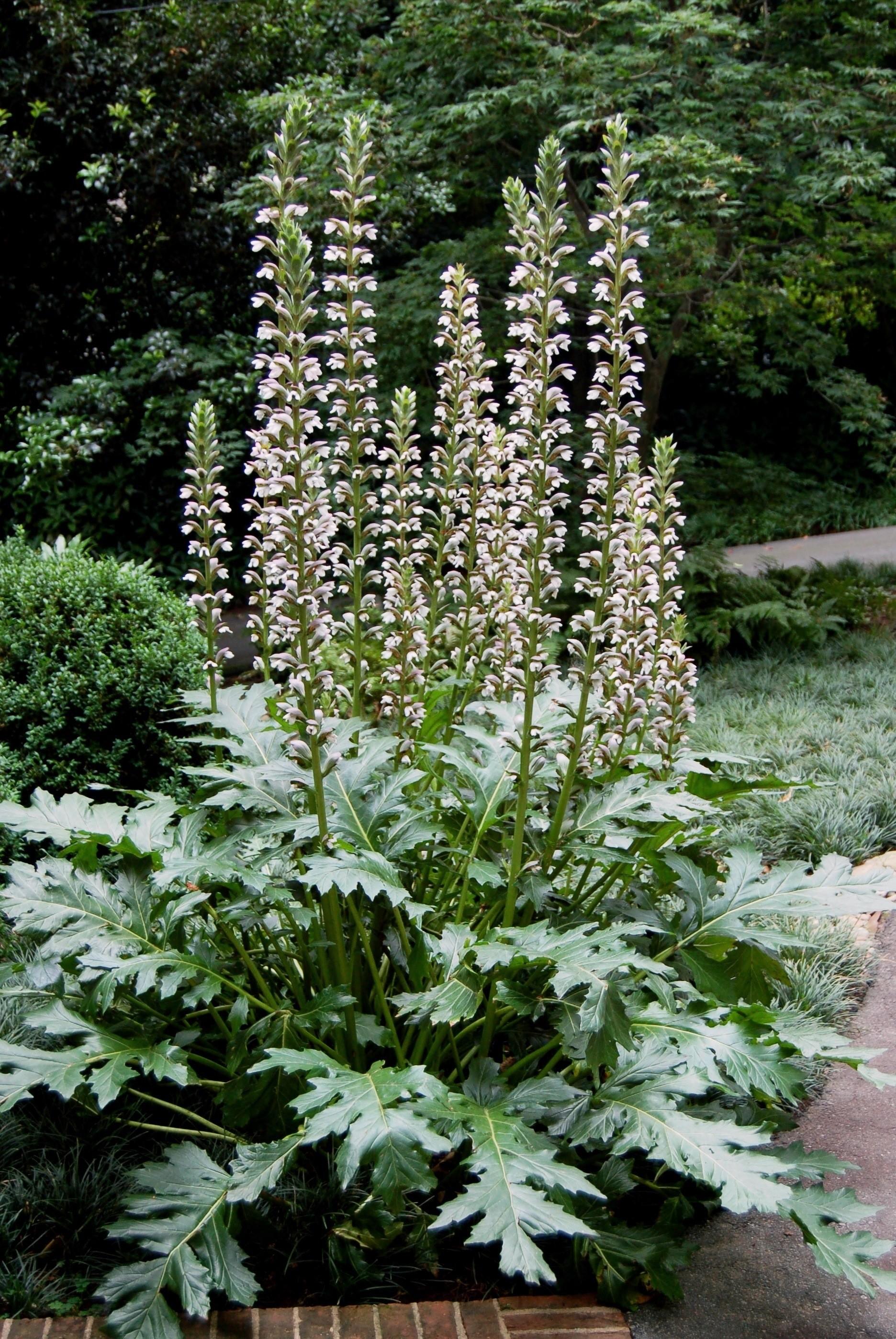 Acanthus Summer Beauty Hortitopia