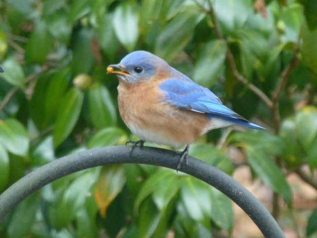 Eastern Bluebird--I've heard that this species doesn't eat at feeders, but I've had a visiting pair on several occasions in the past weeks.