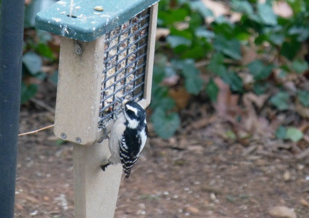The small Downy Woodpecker, using his tail for balance.
