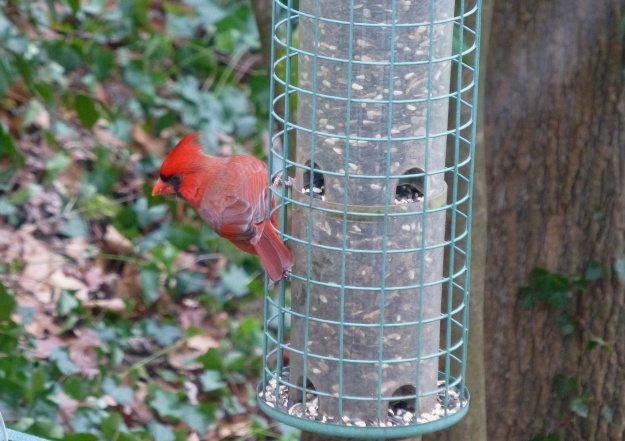 Everyone loves the Northern Cardinal and I'm no exception.  Here's the colorful male...