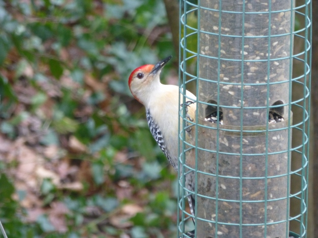 And the glorious Red-Bellied Woodpecker, with his zebra back and scarlet cap.