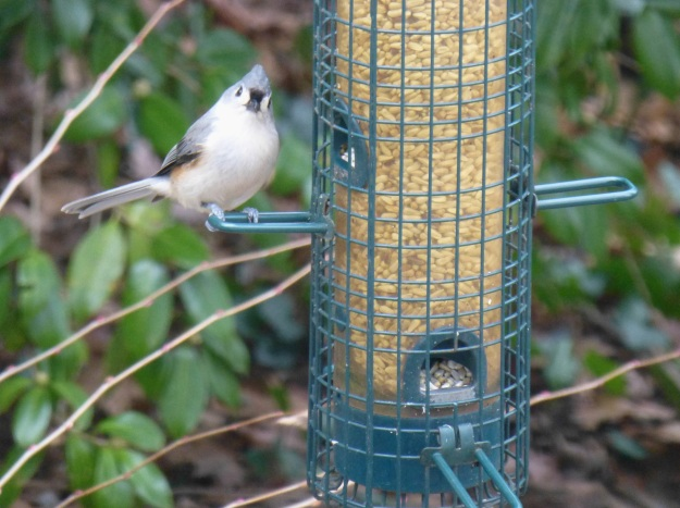 "The Tufted Titmouse who whistles ""peter-peter-peter."""