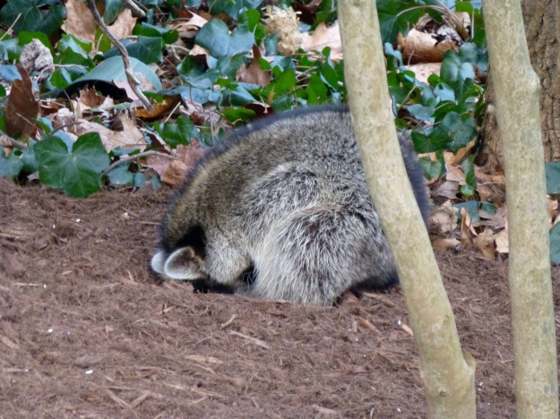 Sleeping raccoon, curled into the mulch, sheltering its unprotected belly from the wind and cold.