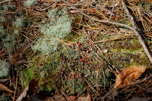 Reindeer moss, to the left, with British soldiers, center.