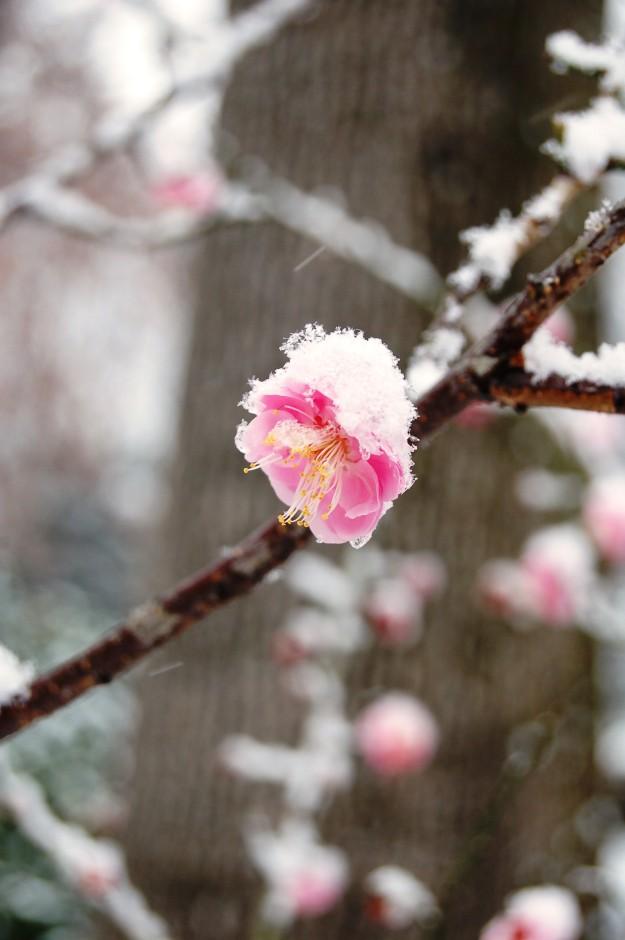 Prunus mume 'Peggy Clark'