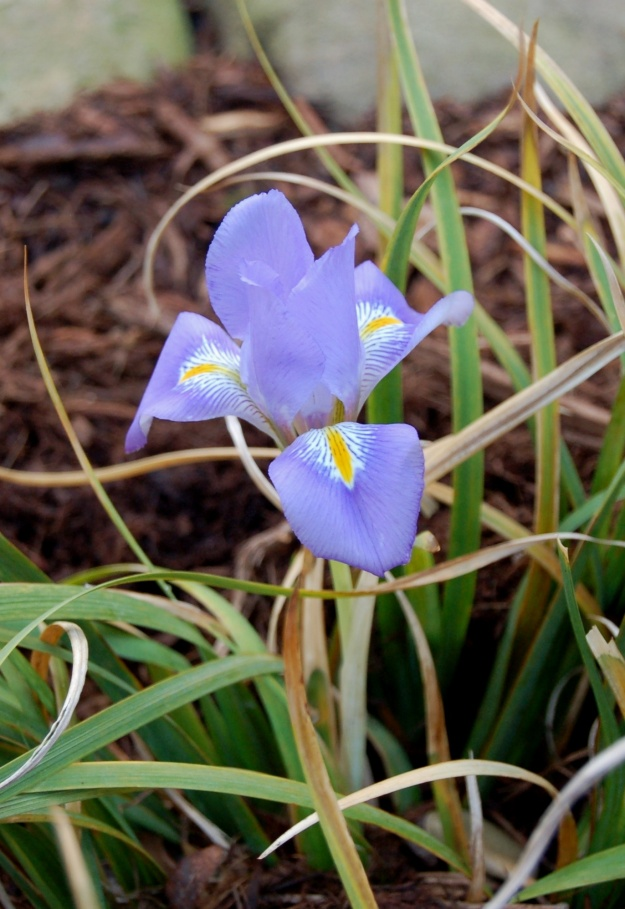 Iris unquicularis