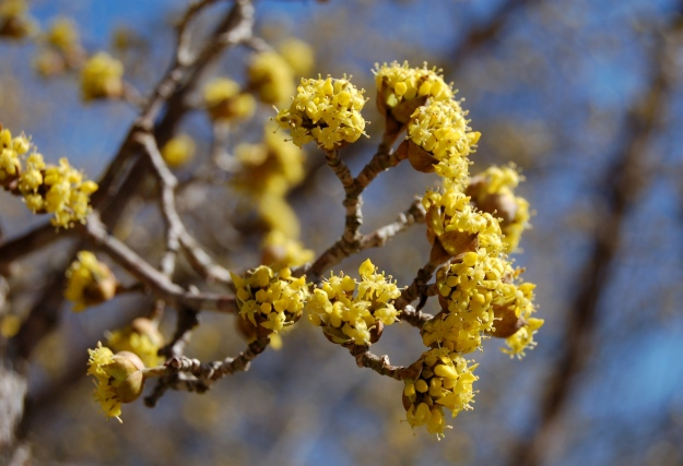 Cornus mas 'Golden Glory' (Cornelian cherry dogwood)